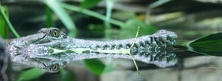 Freshwater Crocodile head
