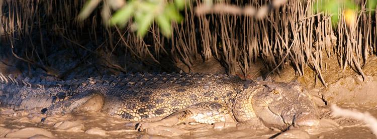 Saltwater Crocodile sunning